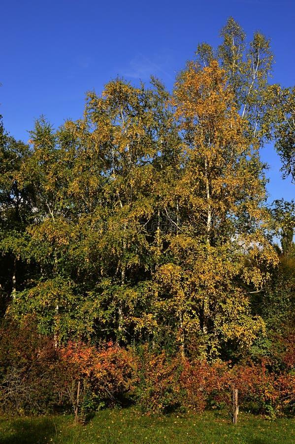Grupa srebnej brzozy drzew Betula wahadła podczas jesień sezonu z żółtymi liśćmi, niektóre krzaki z pomarańcze czerwony leafage w fotografia royalty free