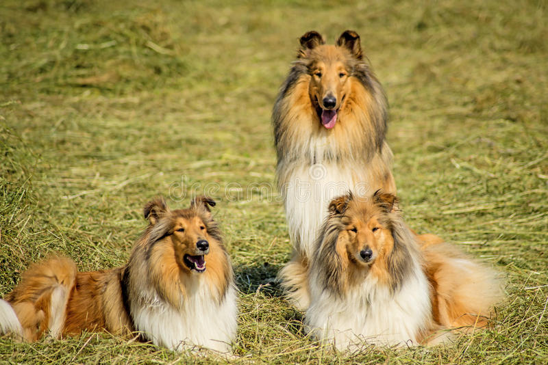 Grupa trzy collie psa fotografia stock