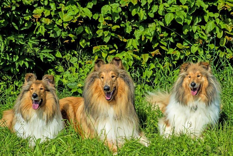 Grupa trzy collie psa zdjęcia royalty free