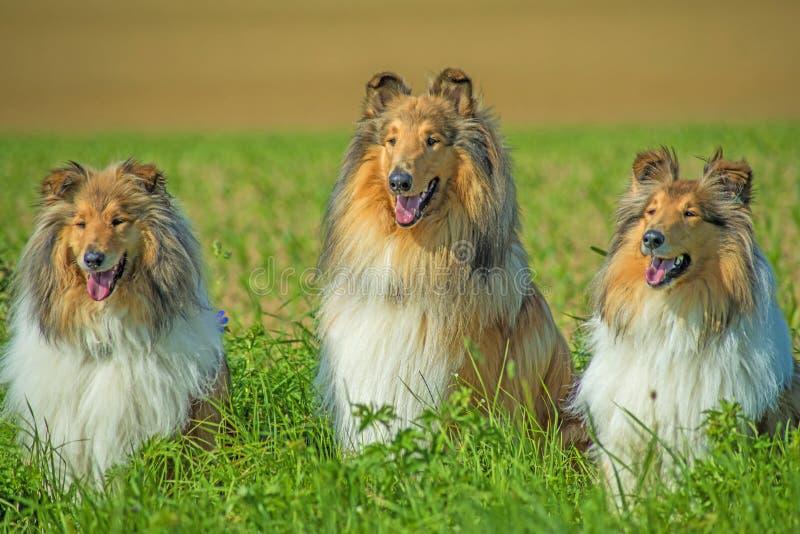 Grupa trzy collie psa zdjęcie royalty free
