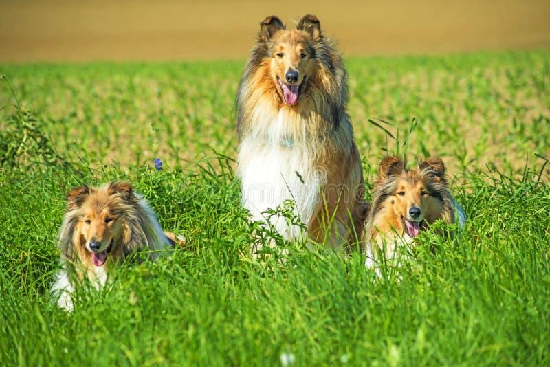 Grupa trzy collie psa obraz royalty free