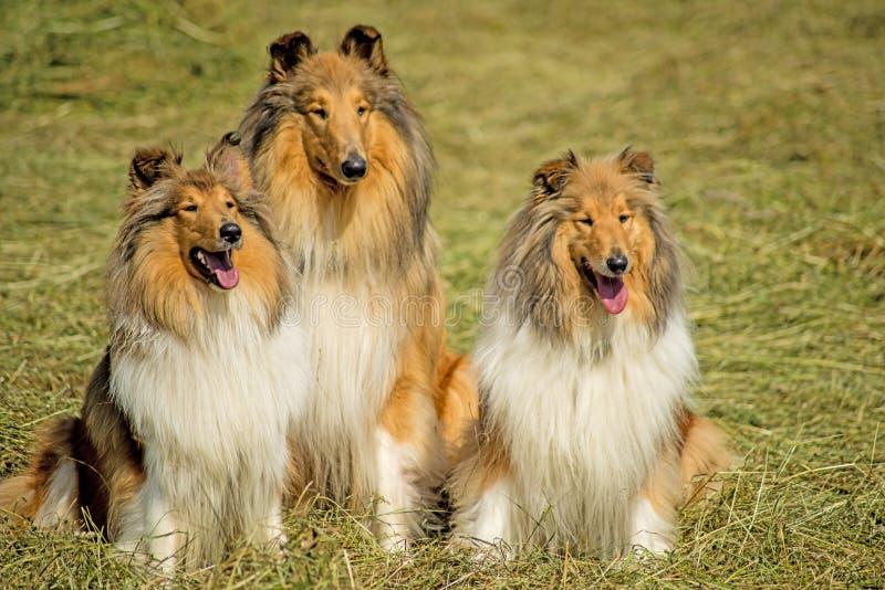 Grupa trzy collie psa zdjęcie stock