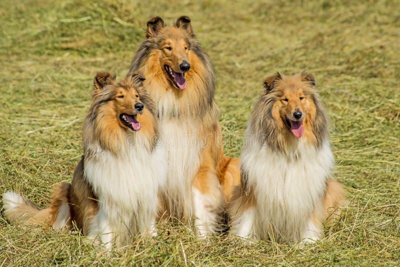 Grupa trzy collie psa obrazy stock