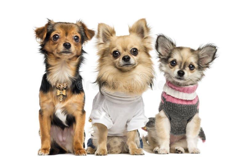 Grupa ubierający up chihuahua, odizolowywająca zdjęcie royalty free