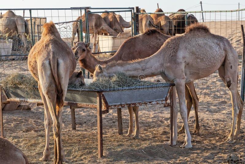 Grupa wielbłądy karmi w pustyni Abu Dhabi UAE fotografia royalty free