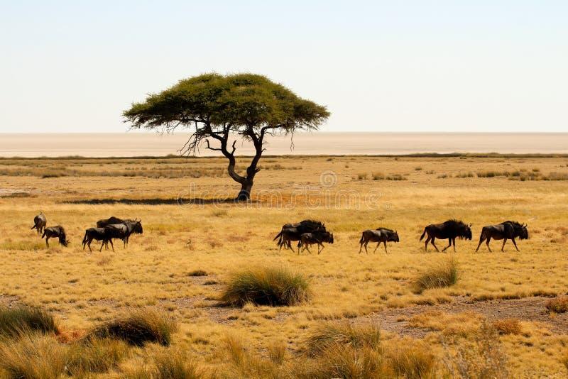 Grupa wildebeests chodzi wokoło w Etosha parku narodowym zdjęcie stock