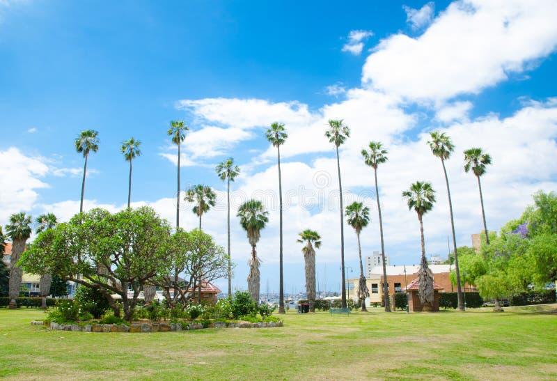 Grupa wysocy drzewka palmowe, zbiera przy Milson parkiem, Kirribilli, Sydney obraz stock