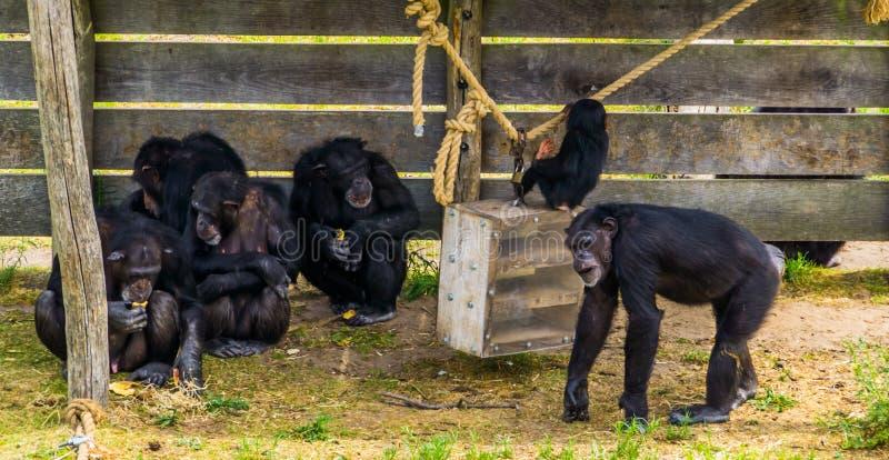 Grupa zachodni szympansy wpólnie, Krytycznie zagrażający zwierzęcy specie od Afryka obrazy royalty free