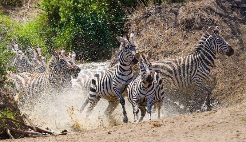 Grupa zebry biega przez wodę Kenja Tanzania Park Narodowy kmieć Maasai Mara obraz stock