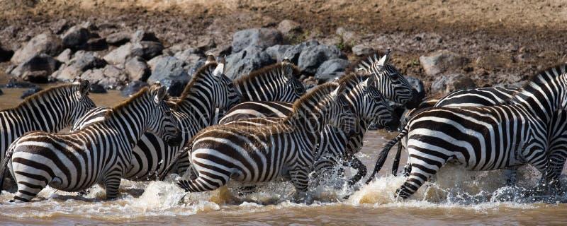 Grupa zebry biega przez wodę Kenja Tanzania Park Narodowy kmieć Maasai Mara fotografia stock