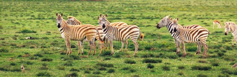 Grupa zebry na obszarze trawiastym w Afryka, park narodowy Kenja zdjęcia royalty free