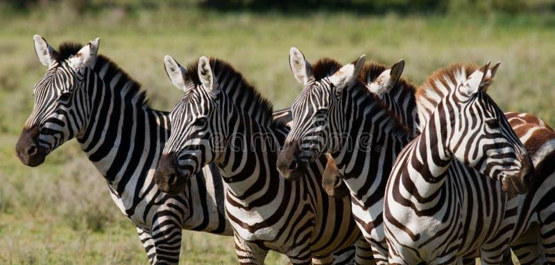 Grupa zebry w sawannie Kenja Tanzania Park Narodowy kmieć Maasai Mara obraz stock