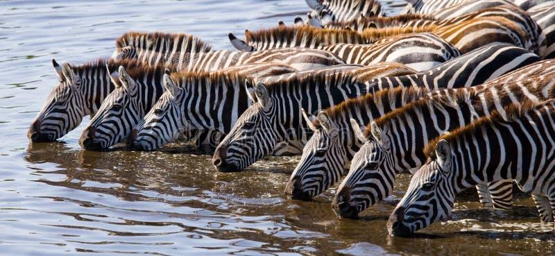 Grupa zebry woda pitna od rzeki Kenja Tanzania Park Narodowy kmieć Maasai Mara zdjęcie royalty free