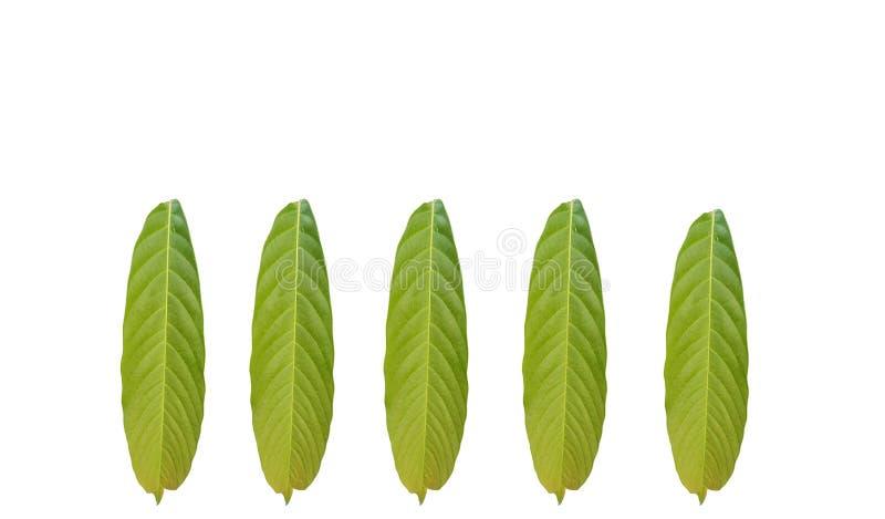 Grupa zielonego ulistnienia tropikalny liść odizolowywający na białych tło ilustracji