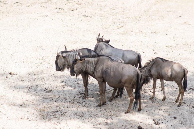 Grupo africano do gnu do antílope de quatro animais no parque do safari fotografia de stock royalty free