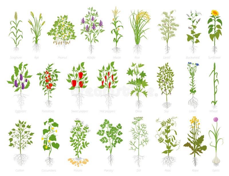 Grupo agrícola do ícone da planta Plantas da exploração agrícola do vetor Lentilhas e muitas dos feijões de soja do arroz d ilustração royalty free
