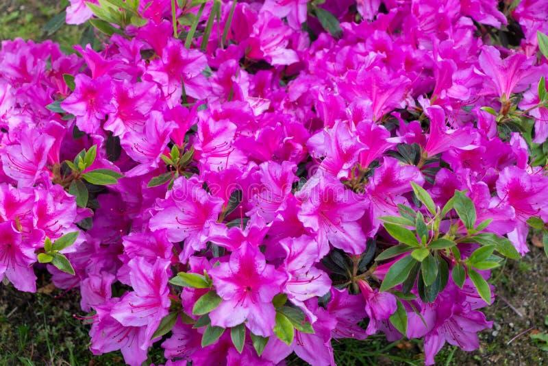 Grupo agrad?vel de flores roxas e cor-de-rosa dos pet?nias em um jardim imagens de stock
