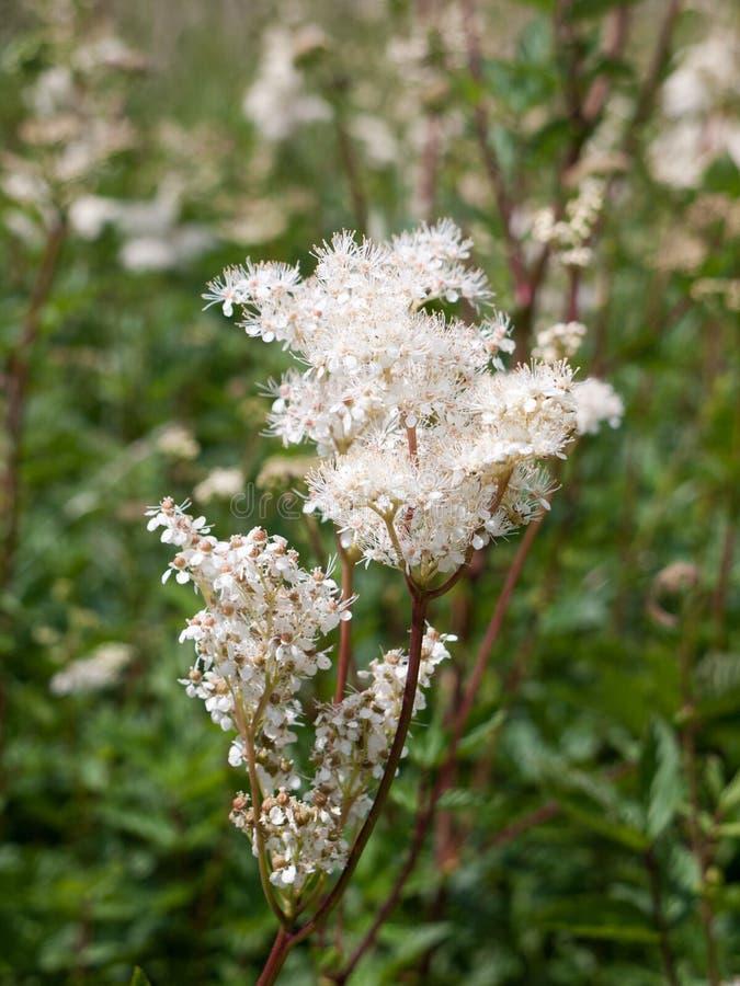 Grupo alba da flor do meadowsweet do Spiraea imagem de stock royalty free