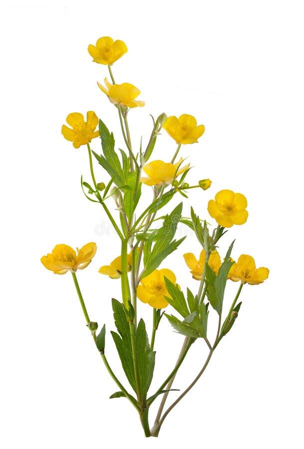 Grupo amarelo isolado de flores do botão de ouro fotos de stock royalty free