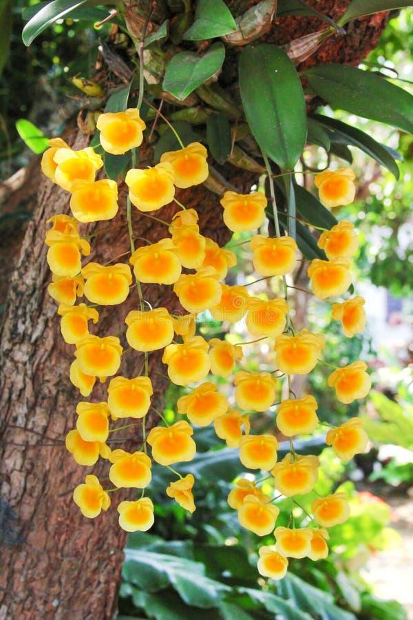 Grupo amarillo colorido de las flores de la orquídea que florece en el árbol, lindleyi Steud del Dendrobium fotos de archivo libres de regalías