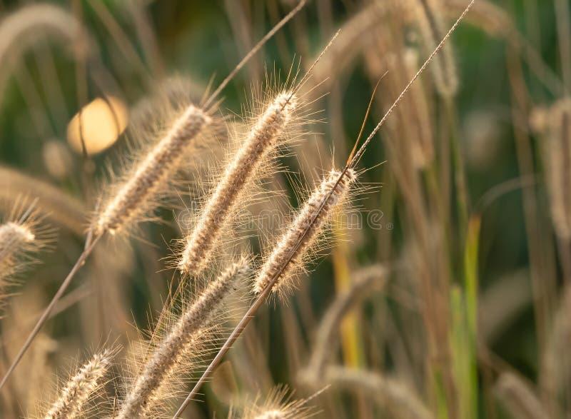 Grupo ascendente cercano de flor de la hierba del Poaceae con luz del sol aislada en fondo de la naturaleza imagen de archivo