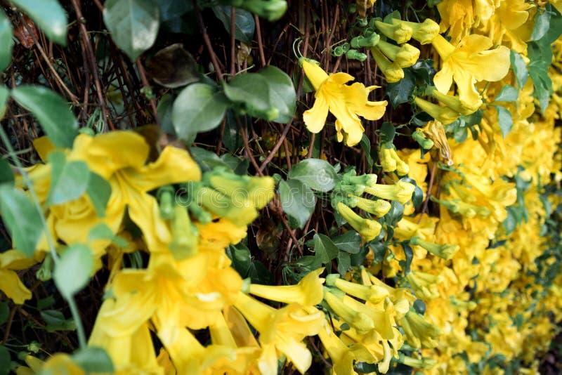 Grupo ascendente cercano de la garra del gato amarillo de la flor imagenes de archivo