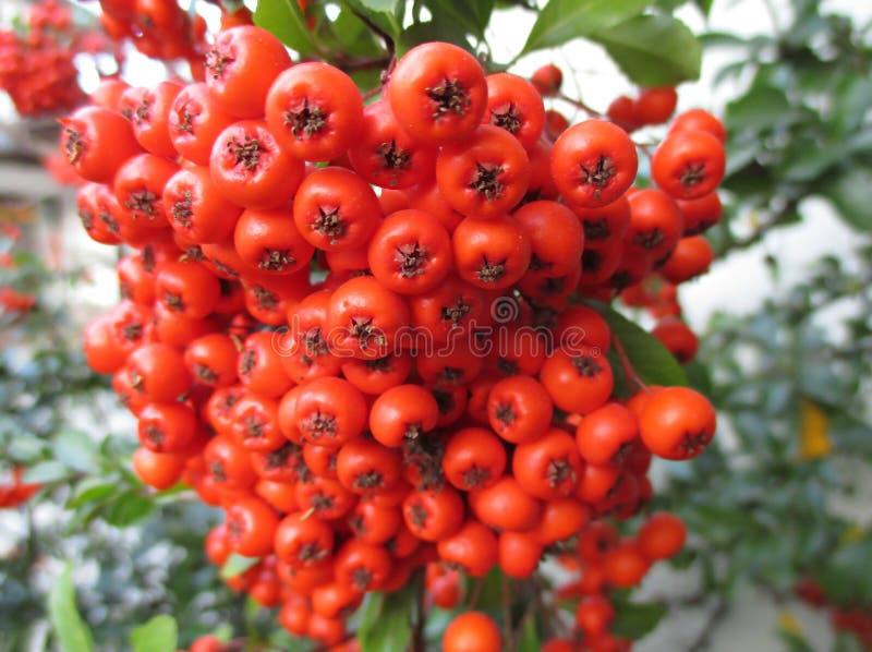 Grupo ascendente fechado de bagas selvagens vermelhas vibrantes na árvore, com foco seletivo foto de stock