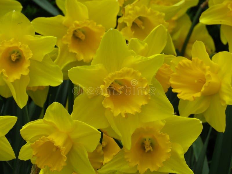 Grupo ascendente pr?ximo de narcisos amarelos amarelos no jardim Campo amarelo do narciso fotografia de stock