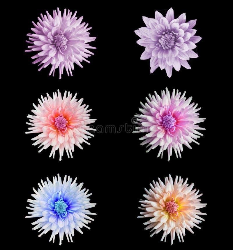 Grupo bonito da flor da dália fotografia de stock royalty free