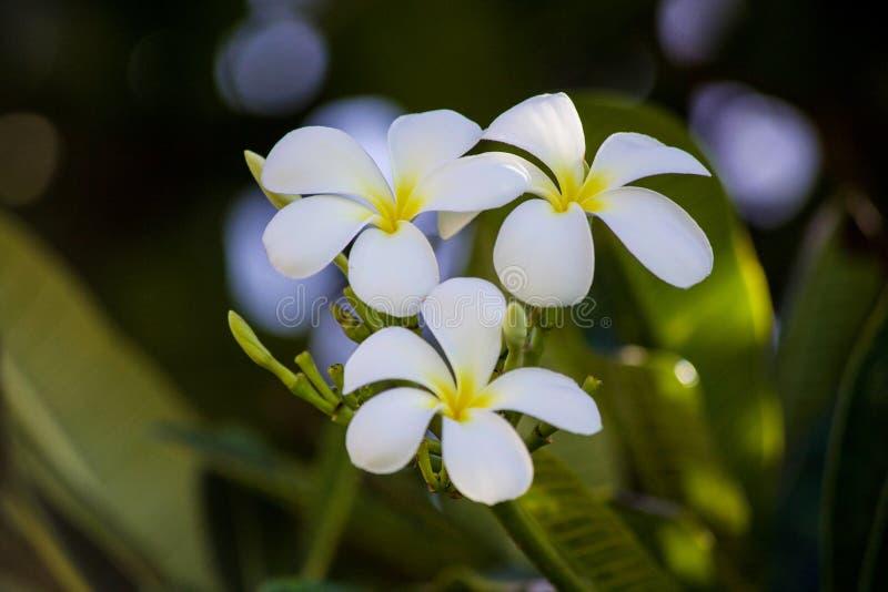 Grupo bonito da flor do Plumeria havaí imagem de stock royalty free