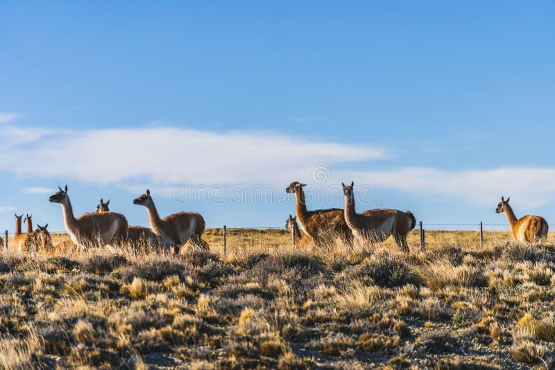 Grupo bonito de animal selvagem da natureza do guanaco com grama amarela dourada no outono, no Patagonia sul, no Chile e na Argen fotografia de stock