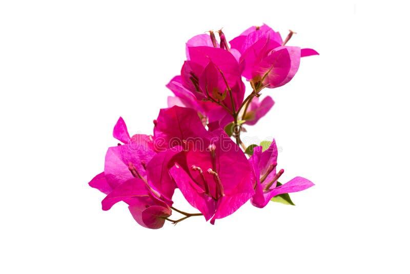 Grupo bonito de buganvília cor-de-rosa que floresce com o pólen isolado no fundo branco fotos de stock
