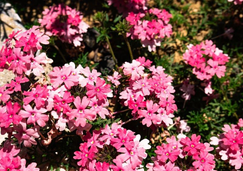 Grupo bonito de salmões cor-de-rosa de Tapien do Verbena das flores fotos de stock royalty free