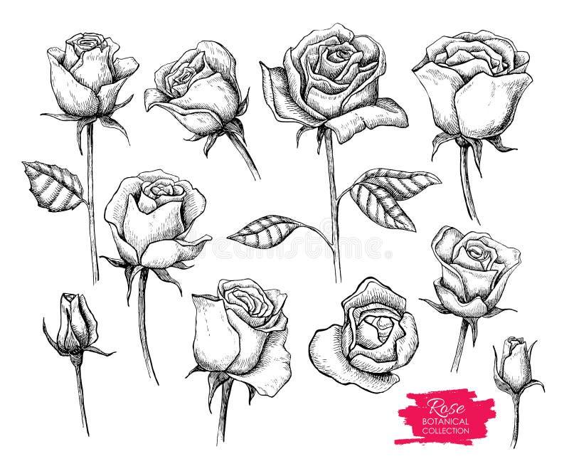 Grupo botânico tirado mão da rosa do vetor Coleção gravada ilustração royalty free