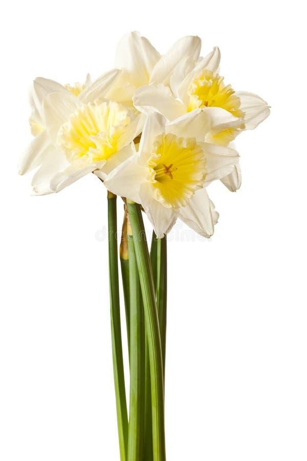 Grupo branco da flor do Daffodil da mola imagem de stock royalty free