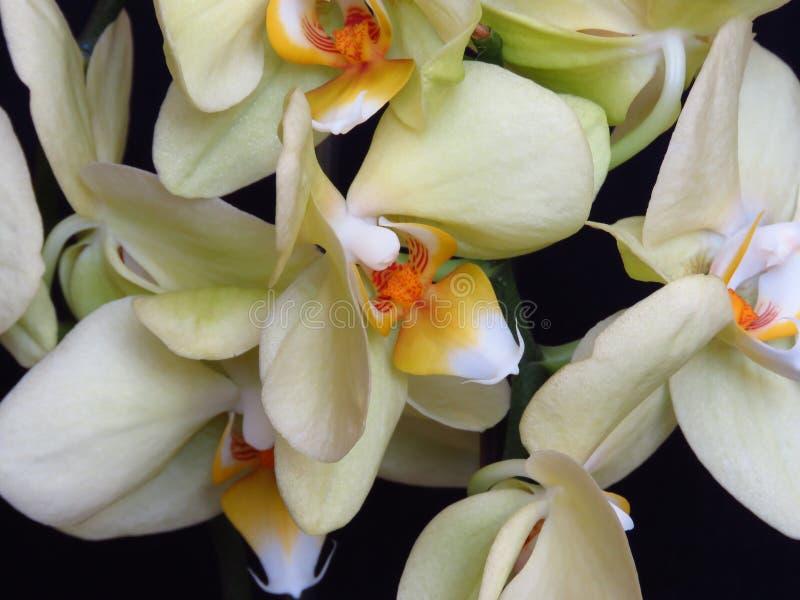 Grupo branco e amarelo da orquídea no fundo preto Phalaenopsis conhecido como a traça fotos de stock