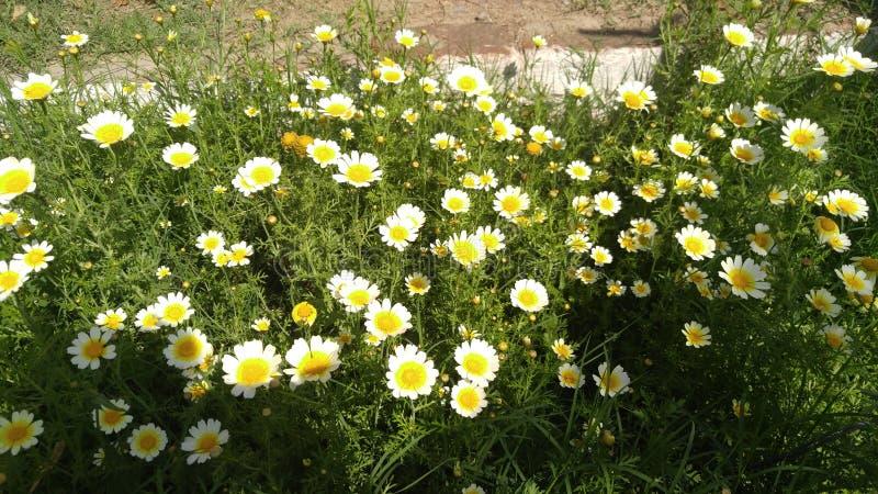 Grupo Bunchy das flores das flores brancas das flores fotos de stock