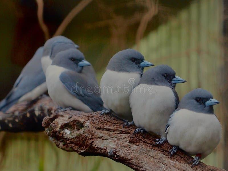 Grupo cariñoso de acoplamiento que se hace querer de Roosting pájaros con plumaje gris y blanco fotos de archivo libres de regalías