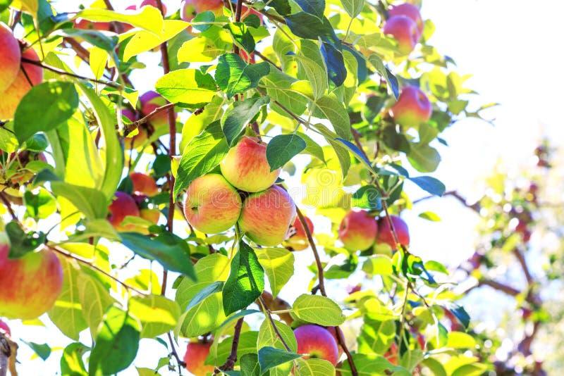Grupo colorido de frutos orgânicos em um pomar A melhor sagacidade da imagem fotografia de stock