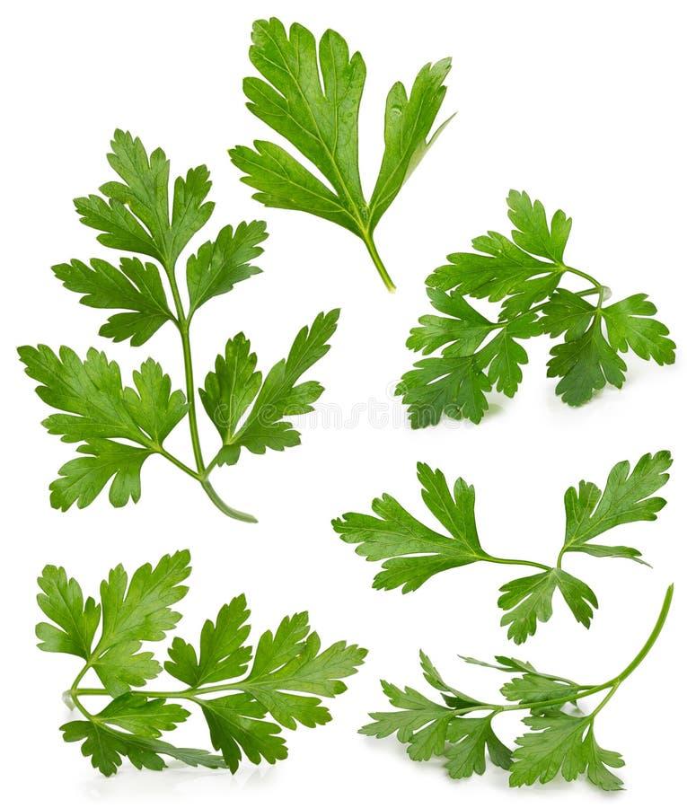 Grupo com as folhas da salsa isoladas no fundo branco foto de stock royalty free