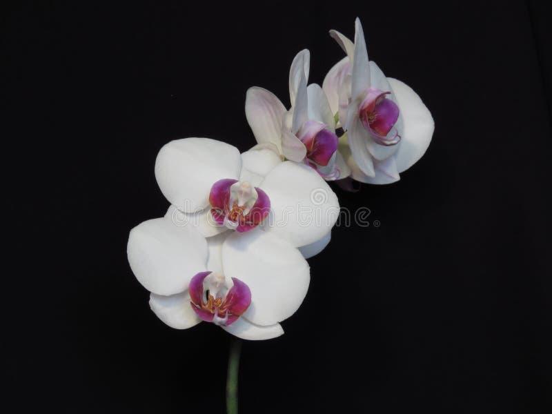 Grupo cor-de-rosa branco e roxo da flor da flor da orquídea no fundo preto Ramalhete ? moda de floresc?ncia da orqu?dea foto de stock royalty free