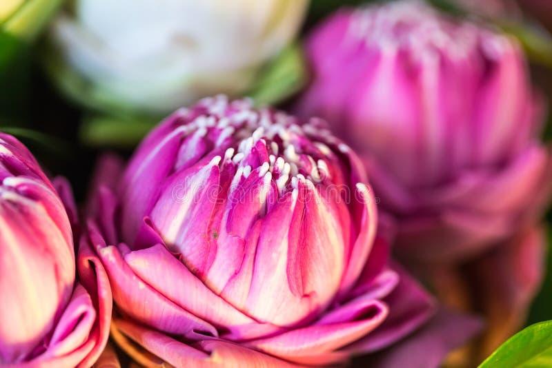 Grupo cor-de-rosa de Lotus Flowers para a Buda budista da adoração Foco macio fotografia de stock