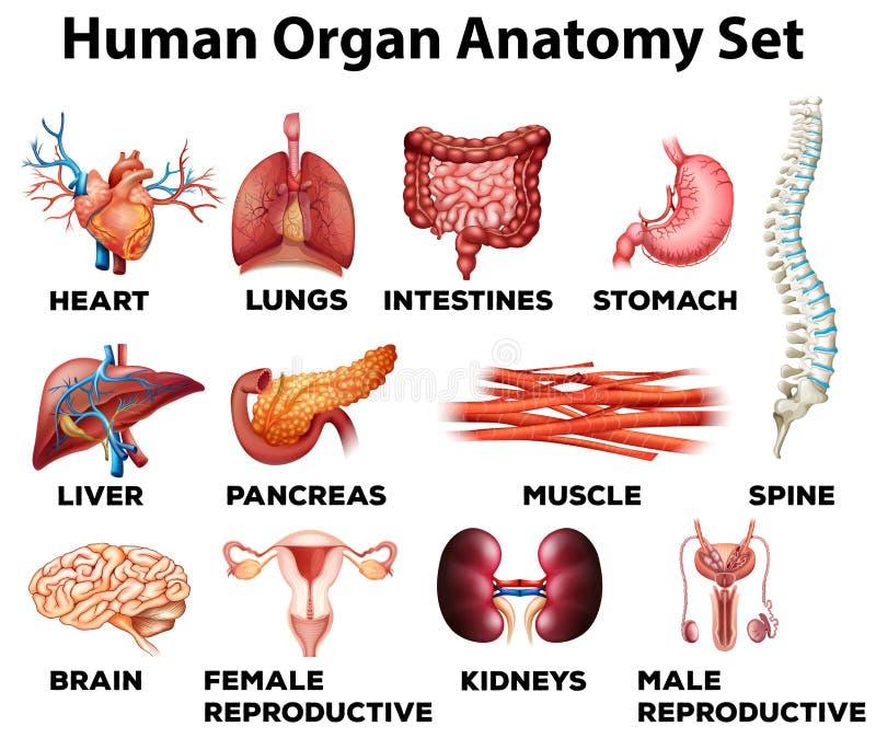 Grupo da anatomia do órgão humano ilustração royalty free