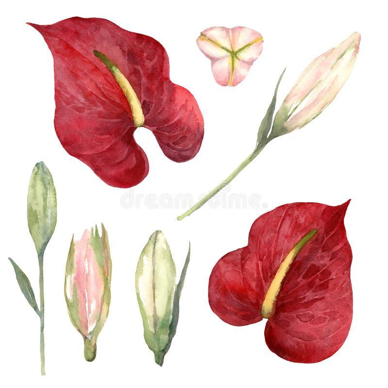 Grupo da aquarela de antúrio vermelho e de botões cor-de-rosa do lírio no vagabundos brancos ilustração do vetor