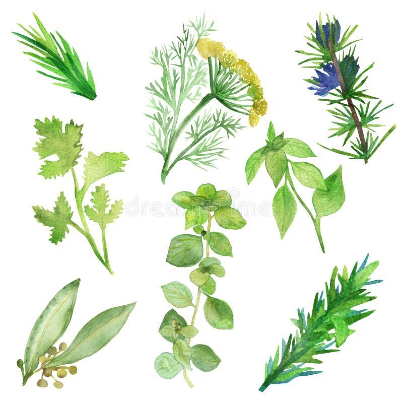 Grupo da aquarela de plantas picantes Condimentos verdes isolados no fundo branco Ervas picantes: Louro, manjericão, coentro, ale ilustração do vetor