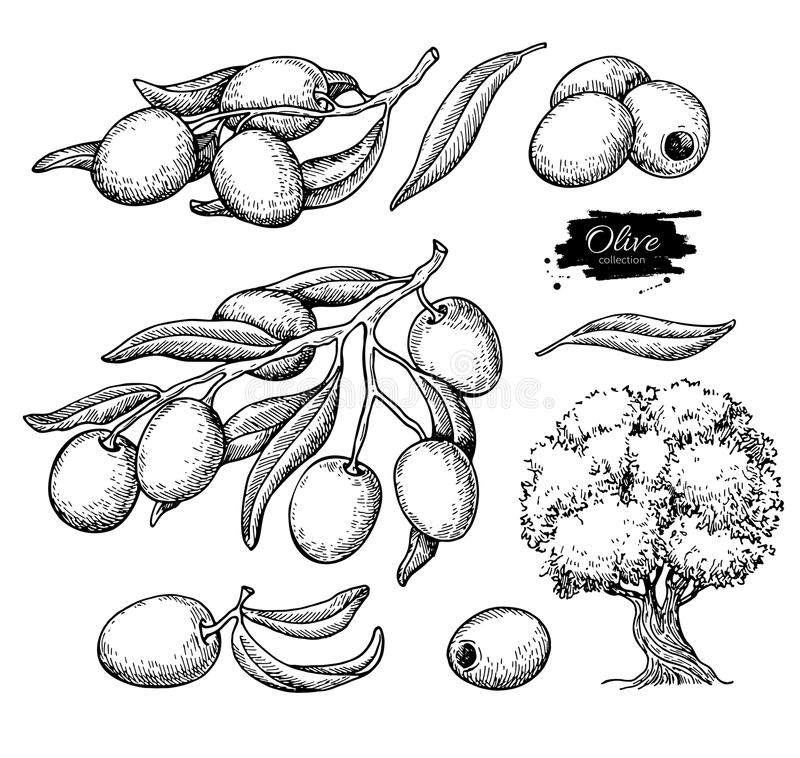 Grupo da azeitona Entregue a ilustração tirada do vetor do ramo com alimento, árvore, gota do óleo ilustração do vetor