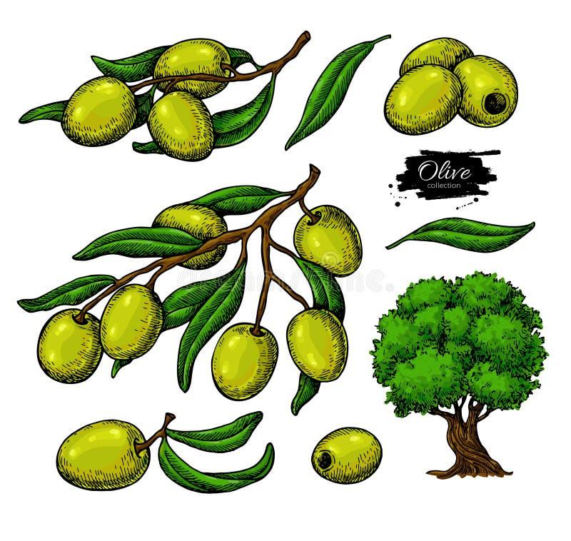 Grupo da azeitona Entregue a ilustração tirada do vetor do ramo com alimento verde, árvore, gota do óleo Desenho isolado no branc ilustração royalty free