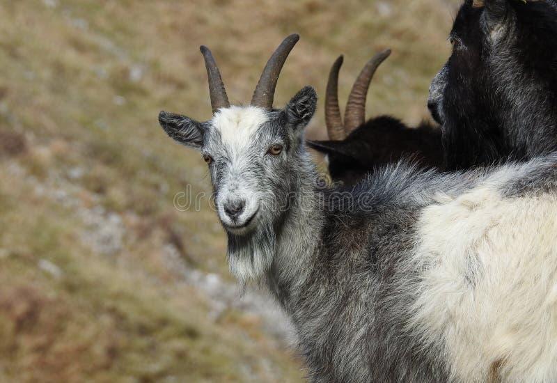 Grupo da cabra selvagem no desfiladeiro Inglaterra do queijo Cheddar foto de stock royalty free