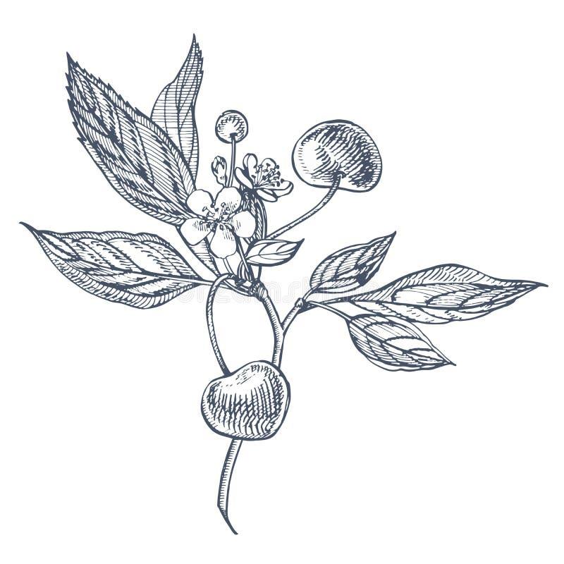 Grupo da cereja Baga tirada mão isolada no fundo branco Ilustração gravada fruto do estilo do vetor do verão Grande para ilustração do vetor