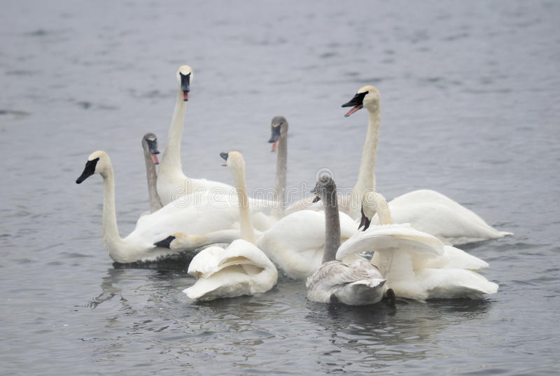 Grupo da cisne da trompetista fotografia de stock royalty free